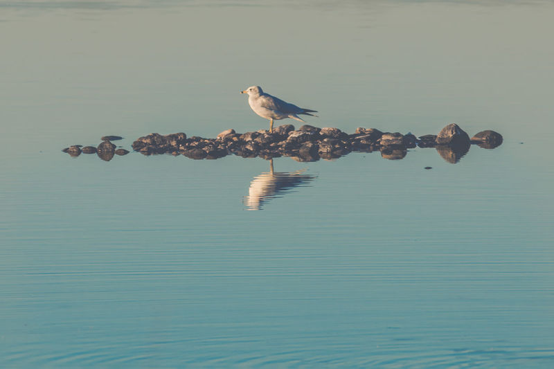 Bird Vertebrate Animal Animal Themes Water Animal Wildlife Animals In The Wild Waterfront One Animal Perching No People Sea Nature Day Reflection Beauty In Nature Tranquility Outdoors Seagull