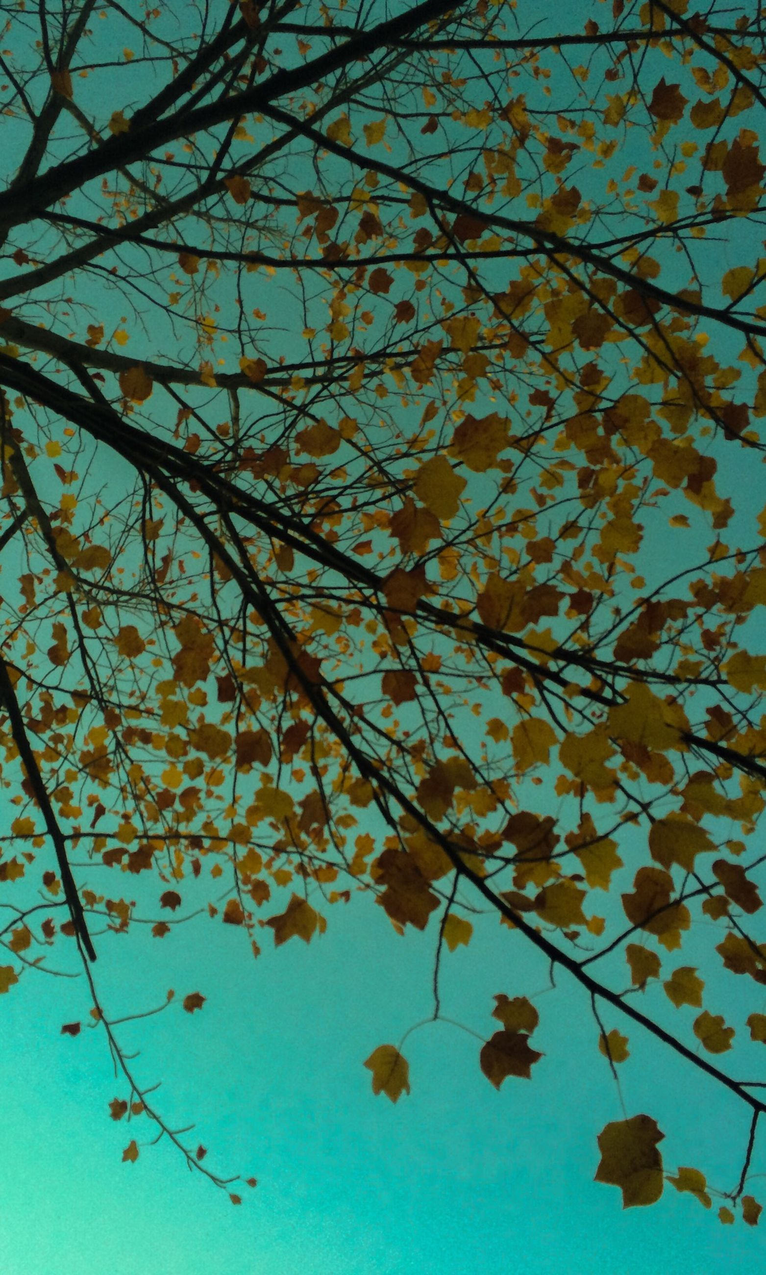 branch, low angle view, tree, leaf, autumn, growth, nature, change, beauty in nature, clear sky, blue, sky, season, tranquility, day, outdoors, no people, sunlight, twig, close-up
