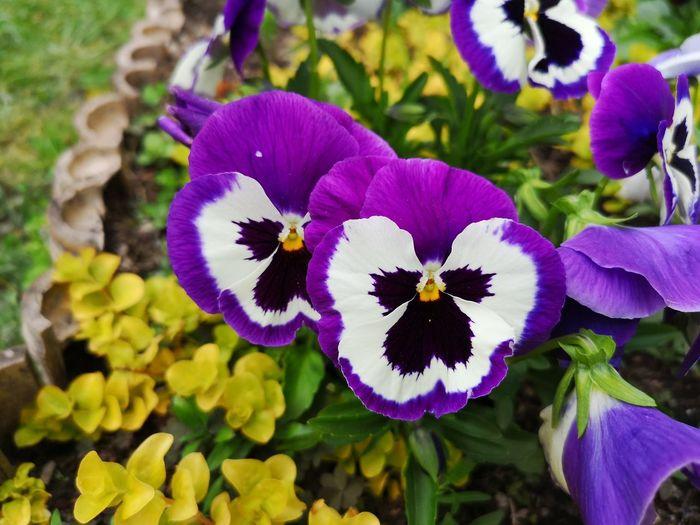 Flower Head Flower Iris - Plant Petal Purple Close-up Plant