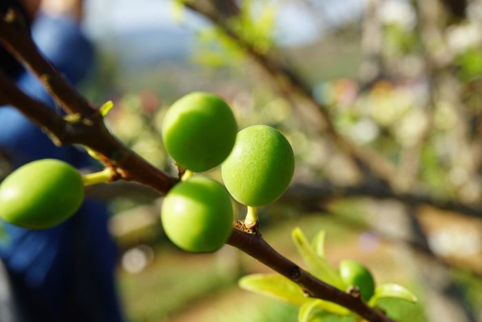 EyeEmNewHere Fruit Growth Close-up Green Color Food And Drink Focus On Foreground Freshness No People Tree Nature Food Day Green Olive Healthy Eating Outdoors Beauty In Nature