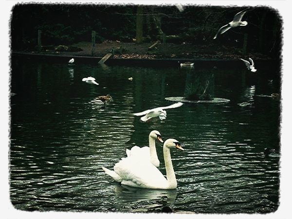 Swan Lake Natural Beauty Nature_collection Eye4photography  Black & White No People Swans Swans On The Lake Nature Outdoors Photography Outdoor Photography Parklife Peckham South London Peckham Rye Peckham Mothernature Mother Nature London Lifestyle Nopeople Beauty Birds Birds Of EyeEm  Birds In Flight Lake Lake View