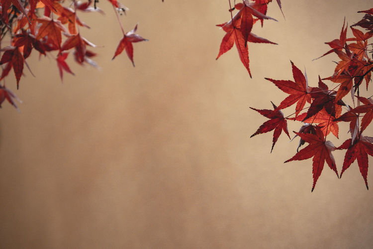red maple leaf against brown background. copy space ready. Maple Red Brown Yellow Copy Space Autumn Background Leaves Leaf Tree Blurred Fall Nature Japan Photo Japanese  Branch Autumnal Season  Purple Trunk Wild Focus Plants Selective Herbs Colourful Beautiful Beauty Natural Relax Soft Scarlet Seasonal Wallpaper Dried Plant Forest Abstract Texture Outdoor Landscape Closeup Foliage Pattern Color ASIA Scenery
