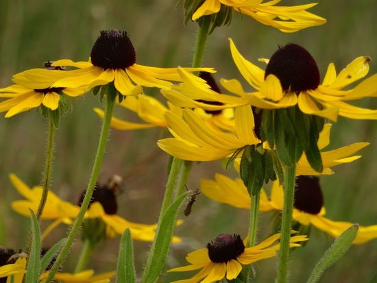 Flower Yellow Growth Fragility Petal Plant Beauty In Nature Nature Freshness Flower Head Day Outdoors No People Blooming Close-up Brown Eyed Susans Growing Wild Rudbeckia Triloba The Week On EyeEm