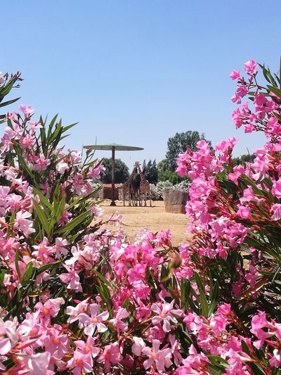 Attica Zoological Park Attica Zoo Greece Giraffe Giraffes Flower Enjoylifecolors No People GREECE ♥♥ Colorful Atticazoo Flower Flower Head Clear Sky Pink Color Springtime Summer Sky Plant Plant Life Rhododendron Blooming In Bloom Blossom