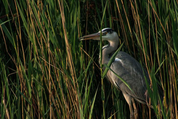 High angle view of gray heron on grass
