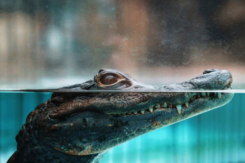 Close-up of young crocodile swimming in aquarium