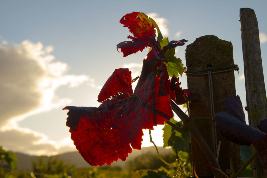 Leaf in a vineyard in autumn Agriculture Autumn Drinking Enjoy Leaf Nature Outdoors Red Sky Vineyard Wine
