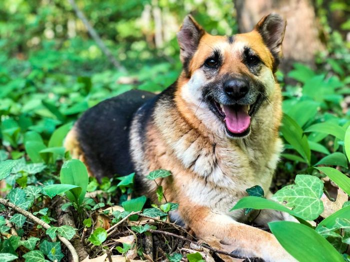 German shepherd resting in green plants in the forest during springtime Fur Sitting Lazy Relax Leaves Grass Spring Forest German Shepherd One Animal Animal Themes Animal Mammal Plant Part Domestic Animals Canine Leaf Dog Pets Vertebrate Domestic No People Portrait Nature Plant Looking At Camera Facial Expression Mouth Mouth Open
