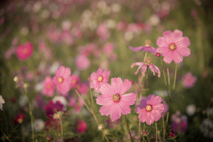 Close-up of pink cosmos flowers on field