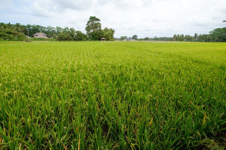 Green rice field Agriculture Bali Beauty In Nature Crop  Cultivated Land Day Farm Field Freshness Green Color Growth Landscape Nature No People Outdoors Rice Field Rice Paddy Rural Scene Scenics Sky Tranquil Scene Tranquility Tree Ubud