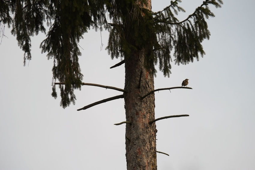 Song Thrush Spruce Tree Turdus Philomelos Animal Wildlife Animals In The Wild Bird Day Forest Low Angle View Nature No People One Animal Outdoors Sky Tree Tree Top Tree Trunk