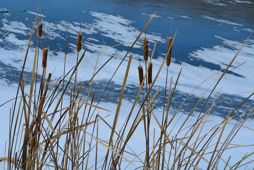 Beauty In Nature Close-up Day Frozen Lake Frozen Lake, Frozen Lakes Grass No People Non-urban Scene Outdoors Park Parks Plant Remote Tranquility Twig Water Willow Willow Catkins Willows