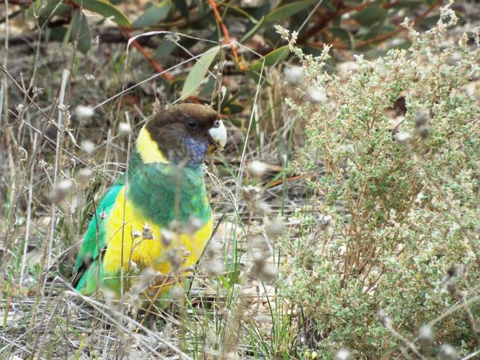 Portlincolnparrot Parrot Inthewoods Winter Australia Woodcollecting Wildlife Natural Entertaining Enjoying Nature
