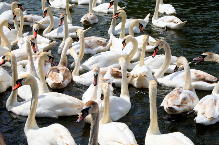 Elegant Swans Swans ❤ Animal Animal Neck Animal Themes Animal Wildlife Animals In The Wild Bird Day Flock Of Birds Group Of Animals High Angle View Lake Large Group Of Animals Nature No People Serene Swan Swans On The Lake Swimming Vertebrate Water White Color Zoology