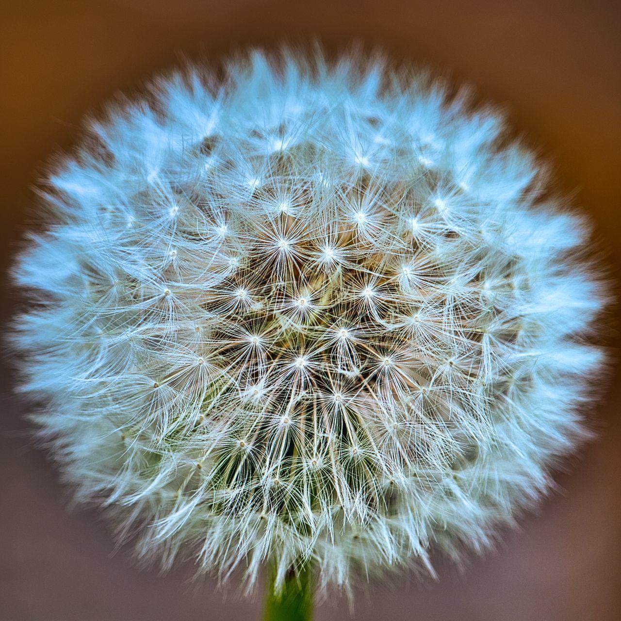 CLOSE-UP OF DANDELION ON FLOWER