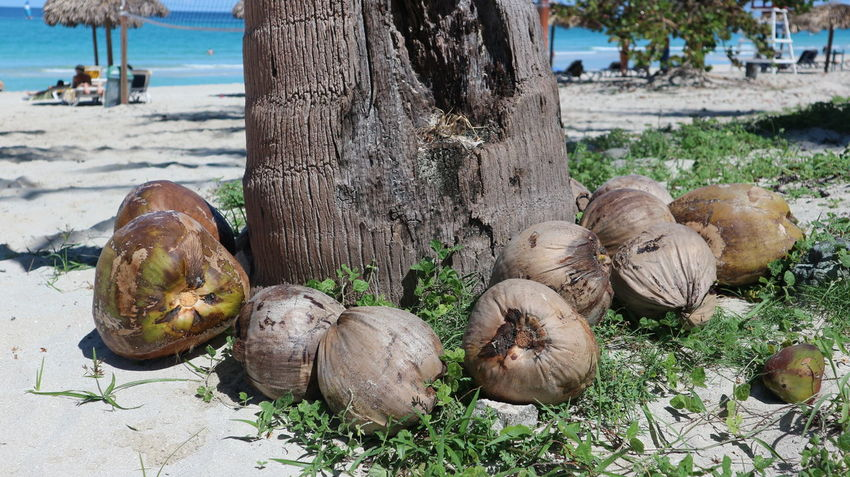 Coconut Cuba Nature Palm Plants Tree Trees Varadero Varadero Beach Varadero, Cuba Beach Coco Flora Food Fruit Harvest Nut Sand Tough Еда Плоды варадеро кокос куба орех