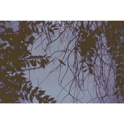 Captured with ricoh singlex tls Hummingbird Trees Nature Analogicphotograph Vintage Retro Ricoh