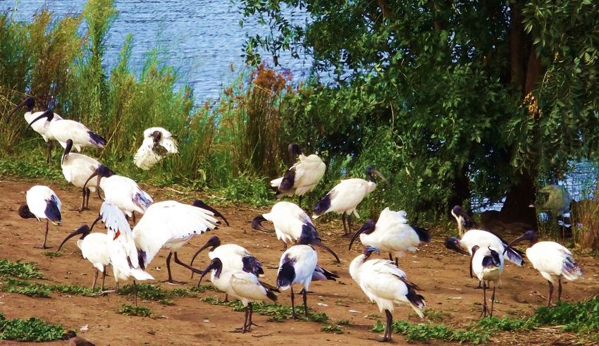Ibises abound..birds of a feather.. Australian Wildlife Park Birds Bird Photography