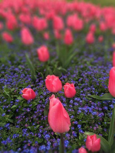 Tulpen in Langenargen
