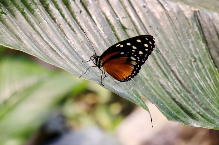 Insect Invertebrate Animal Wing Animal Wildlife Butterfly - Insect Animal Themes Animal One Animal Beauty In Nature Close-up Animals In The Wild Nature Day Plant Part Focus On Foreground Leaf No People Plant Animal Markings Outdoors