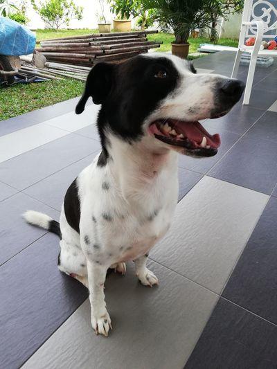Pets Beagle Dog