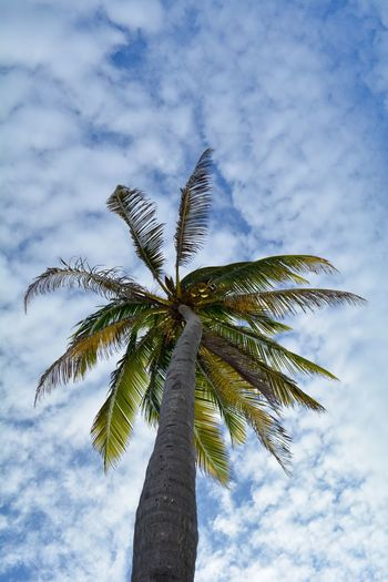 Palm Tree Tropical Climate Sky Tree Growth Low Angle View Cloud - Sky Plant Nature Tree Trunk Trunk Beauty In Nature Coconut Palm Tree No People Tall - High Day Tropical Tree Leaf Tranquility Outdoors Palm Leaf Palm Tree Palm Leaf View From Below Palm Frond