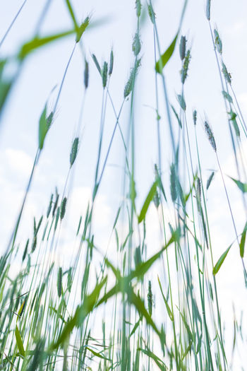 Low angle view of crops growing on field against sky