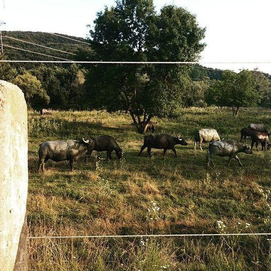 Szecsisziget Zala Hungary Bivaly Buffalo