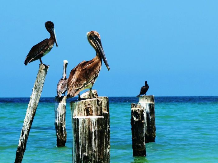 Animal Wildlife Beauty In Nature Blue Carribean Pelican Sea The Great Outdoors - 2016 EyeEm Awards Tranquil Scene
