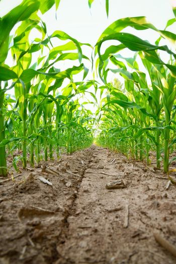 Growth Leaf Plant Nature Green Color Agriculture Field No People Outdoors Scenics f