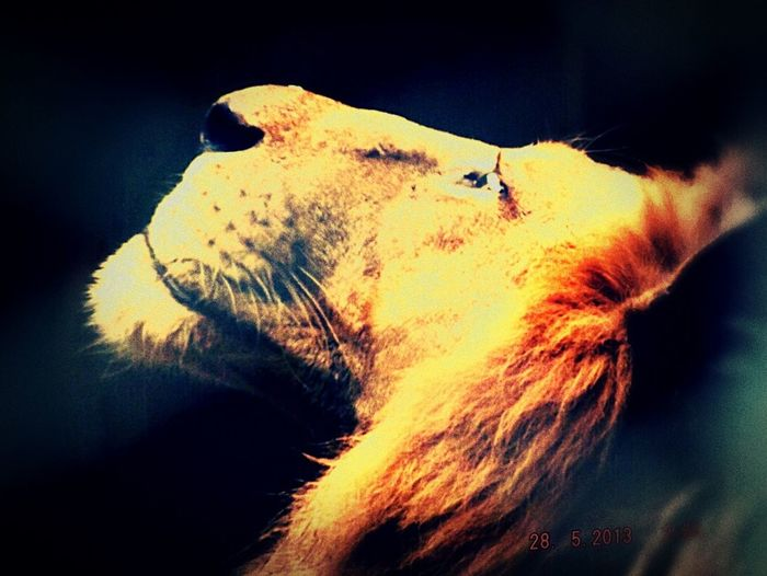 Lion say something.... My caption best pic. One Animal Animal Themes Animal Head  Animals In The Wild Close-up Lion - Feline Animal Wildlife Mammal No People Day Outdoors Nature