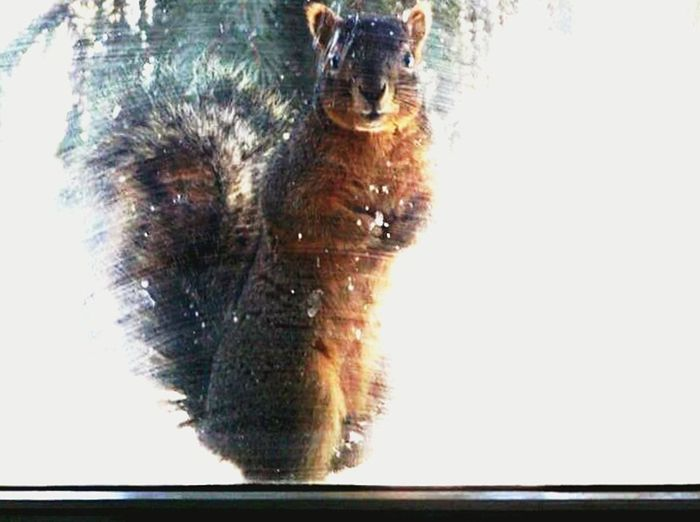 Maximum Closeness The Weekend On EyeEm The Great Outdoors - 2016 EyeEm Awards Outdoors One Animal One Animal Window View Animal Themes No People Day Close-up Outdoors Mammal Squirrel Closeup Curiousity Animal Growth Nature Skittish