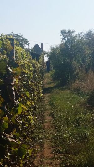 Tree Growth Nature Sky No People Day Agriculture Outdoors Green Color Beauty In Nature Water Hungary Rosé Food Tree Beauty In Nature Herbst Autumn Grapes Wein Weintrauben Trauben Nature Mygranddaddy