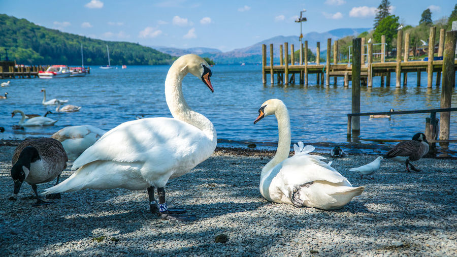 Swan in love Animal Themes Animal Wildlife Animals In The Wild Beauty In Nature Bird Day Lake Love Nature No People Outdoors Sky Swan Water Water Bird White Color