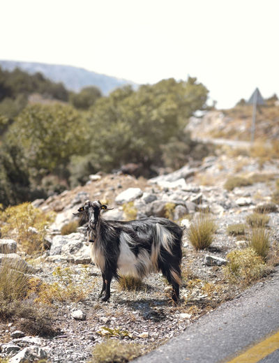 Goat Animal Animal Themes Animal Wildlife Animals In The Wild Day Domestic Domestic Animals Environment Focus On Foreground Land Mammal Mountain Nature No People One Animal Pets Plant Standing Tree Vertebrate