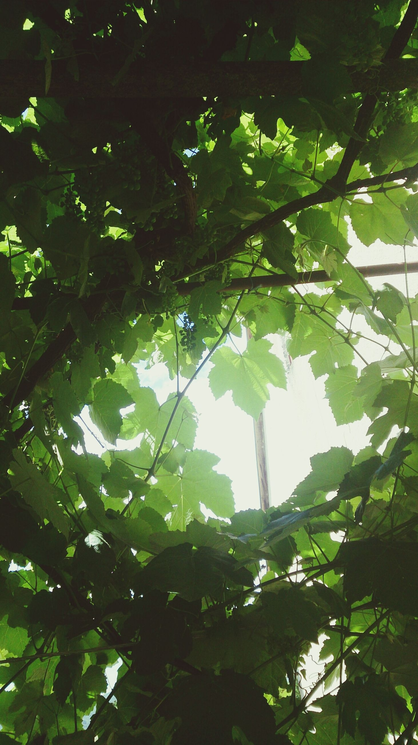 tree, low angle view, leaf, branch, growth, green color, nature, beauty in nature, tranquility, day, sunlight, sky, outdoors, tree trunk, no people, lush foliage, green, directly below, backgrounds, clear sky