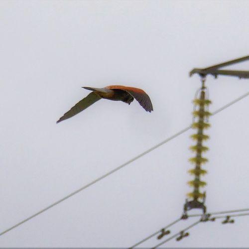 Electric Kestrel Red Brown Kestrel Power Lines Birds Hovering