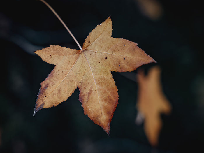 Close-up of dry maple leaves against blurred background