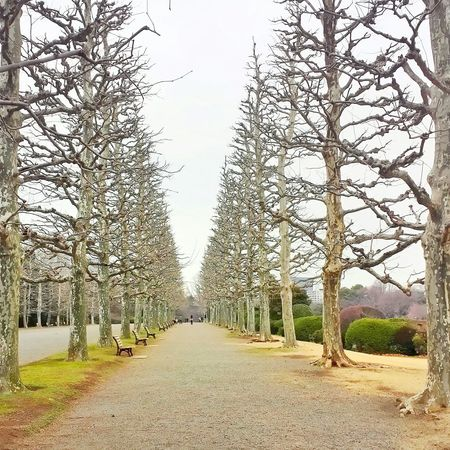 avenue of sycamores || Trees Nature Gardens Outdoors Sky Nippon