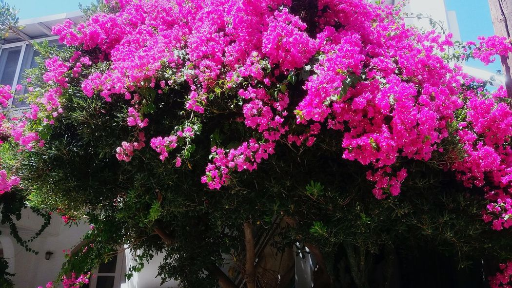 Colour Of Life Nature_collection Photography Greece Nature Photography Summer Home Is Where The Art Is Colours Paros Greece Island Nature Check This Out Colourful Enjoying Life Flower Collection Flowers, Nature And Beauty Pink Flowers