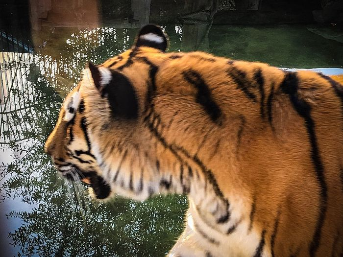 Tiger One Animal Animal Wildlife Animals In The Wild Animal Themes Animals In Captivity No People White Tiger Mammal Day Outdoors Nature Close-up Cage Animals In The Wild Zoo Iran♥