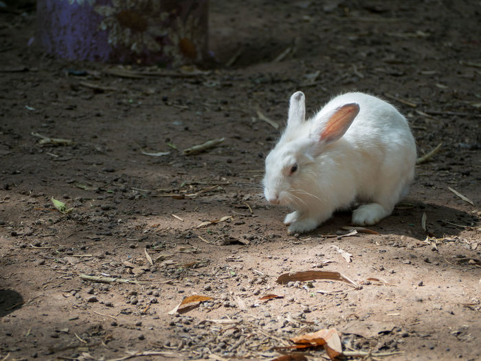 White rabbit on