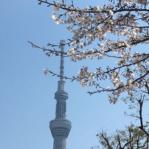 Sky Tokyo Sky Tree Cherry Blossoms Spring Has Arrived EyeEm Best Shots Tower Skytree EyeEmBestPics