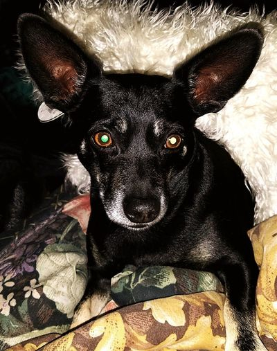 """Roscoe thinks that """"bedtime"""" means, """"time to get up and play, then pet me too""""! Looking At Camera Animal Themes Dog Pets Black Color Woof !"""