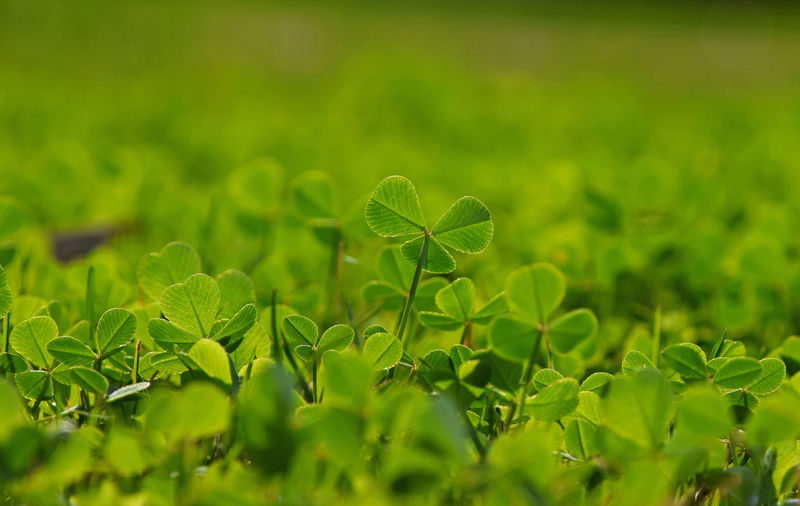 Close-up of clovers growing on field