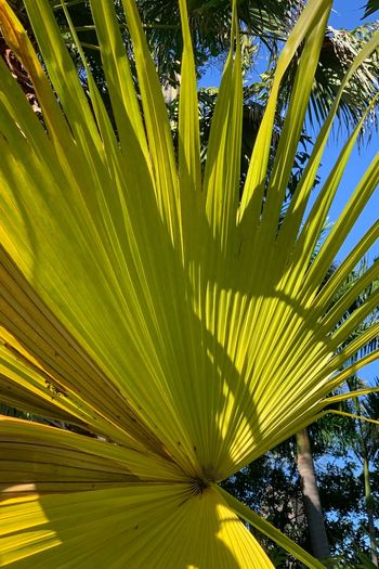 Growth Plant Leaf Tree Palm Tree Tropical Climate Palm Leaf Beauty In Nature Plant Part No People Green Color Nature Sunlight Tranquility Outdoors Backgrounds Low Angle View Environment Close-up Day