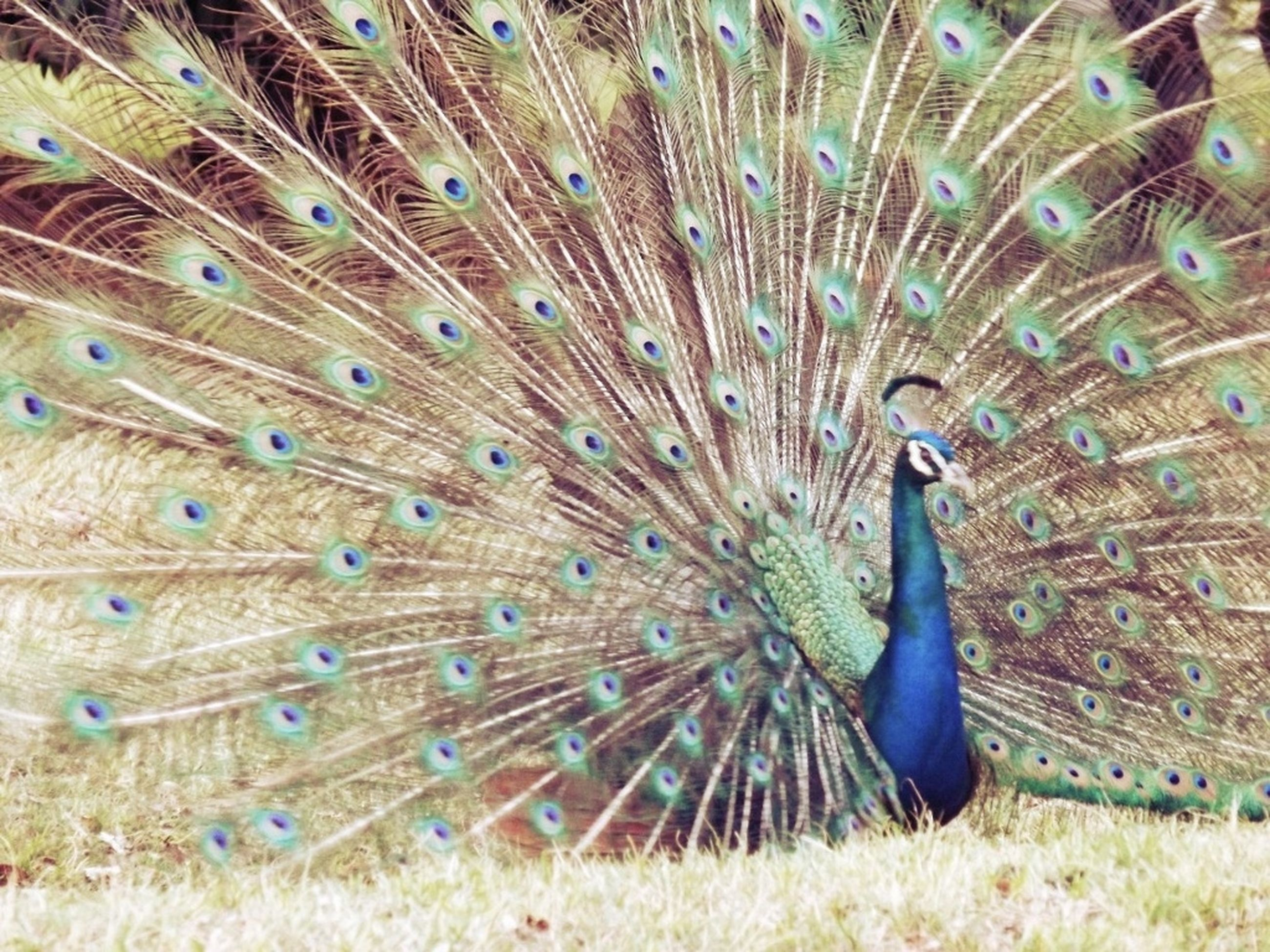 animal themes, animals in the wild, one animal, wildlife, peacock, bird, feather, natural pattern, nature, beauty in nature, close-up, blue, full length, outdoors, day, no people, male animal, zoology, peacock feather, field