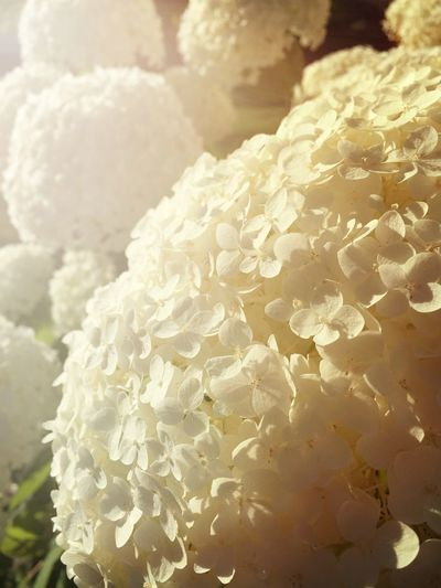 Backgrounds Beauty In Nature Botany Close-up Day Detail Flower Flower Head Focus On Foreground Fragility Freshness Full Frame Growth Hygrangea Macro Natural Pattern Nature No People Petal Plant Selective Focus Softness Tranquility White