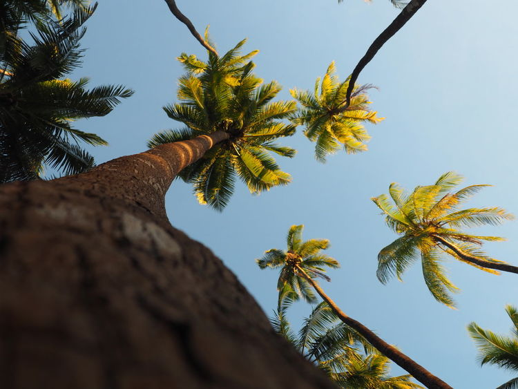 Beauty In Nature Branch Clear Sky Coconut Palm Tree Day Directly Below Growth Leaf Low Angle View Nature No People Outdoors Palm Leaf Palm Tree Plant Selective Focus Sky Tall - High Tranquility Tree Tree Trunk Tropical Climate Tropical Tree Trunk