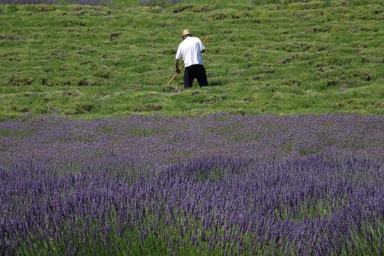 Fields Fields Of Flowers Fields Of Lavender Purple Flowers Working Fields Lavender Farm